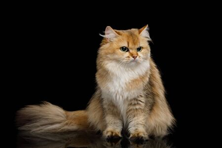 British Cat Red Chinchilla color with Furry tail Sitting on Isolated Black Background, front view