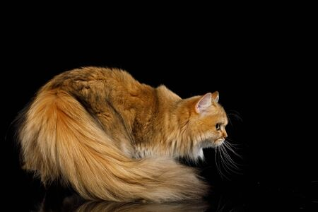 Furry British Cat Red Chinchilla color with Furry tail on Isolated Black Background, side view