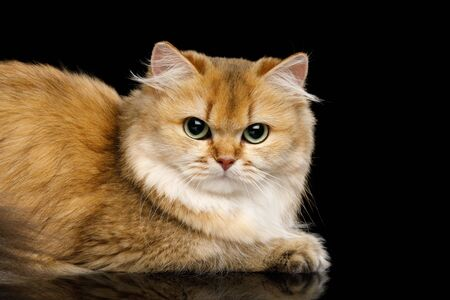 Close-up Angry British Cat Red Chinchilla color with Green eyes Lying on Isolated Black Background, side view Stock Photo