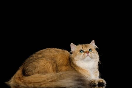 British Cat Red Chinchilla color with Green eyes Lying and Looking up on Isolated Black Background, side view