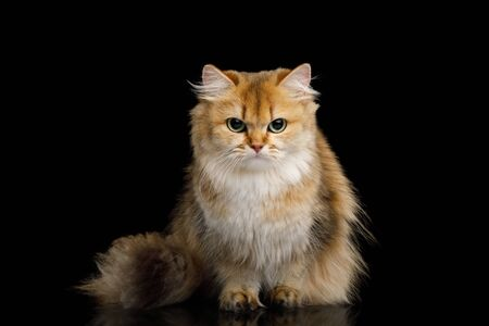 British Cat Red Chinchilla color with Furry Hair sitting and gazing on Isolated Black Background, front view Banque d'images