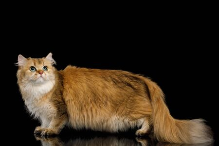 British Cat Red Chinchilla color with Green eyes Standing and Looking up on Isolated Black Background, side view