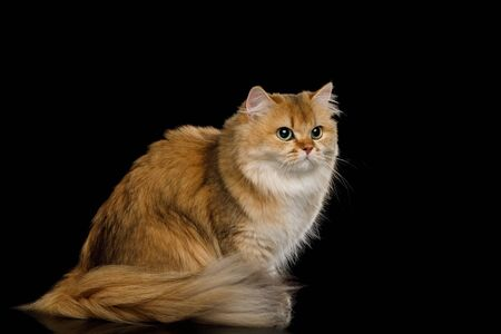 British Cat Red Chinchilla color with Furry Hair sitting and Looking side on Isolated Black Background, front view