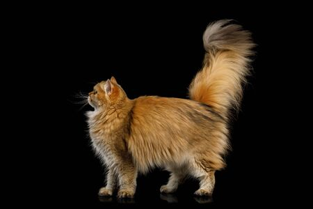 Adorable British Cat Red Chinchilla color with Furry Tail Walk on Isolated Black Background, side view