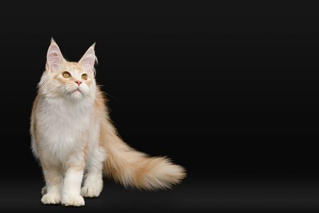 Gorgeous Red Maine Coon Cat Standing and Looking up Isolated on Black Background
