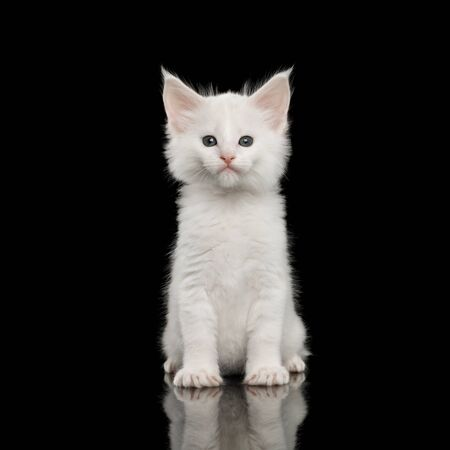 Little White Maine Coon Kitten with huge chin Sitting on Isolated Black Background, front view