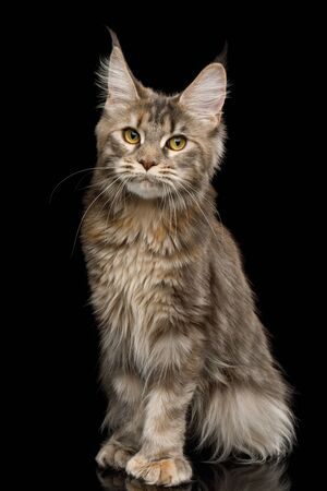 Polydactyl Tabby Maine Coon Cat Sitting with Cute face on Isolated Black Background Stock Photo