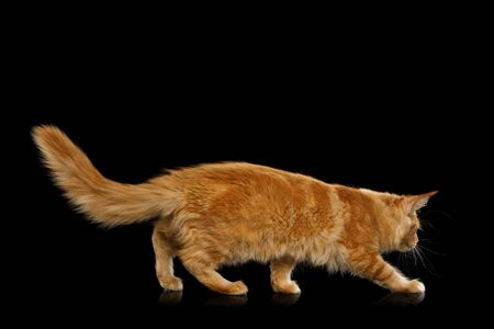 Crouching Red Maine Coon Cat Isolated on Black Background, side view