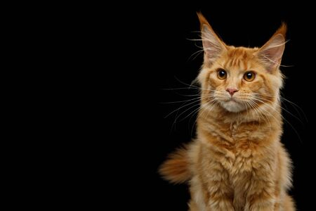 Portrait of Red Maine Coon Cat Looking at Side Isolated on Black Background