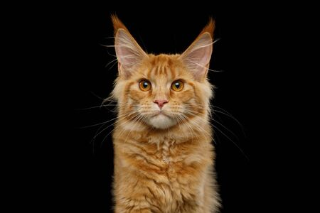 Portrait of Red Maine Coon Cat Gazing Isolated on Black Background Stockfoto