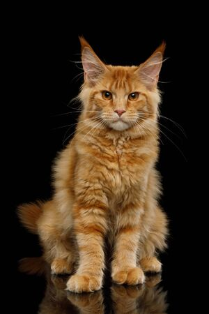 Angry Red Maine Coon Cat Sitting and Gazing Isolated on Black Background, front view