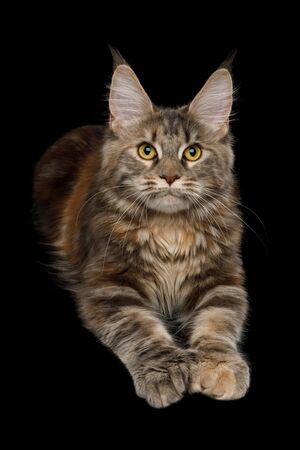 Polydactyl Tabby Maine Coon Cat Lying down and Raising paws on Isolated Black Background
