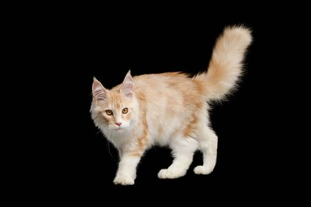 Gorgeous Red Maine Coon Cat Crouching Isolated on Black Background Banco de Imagens