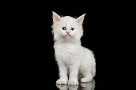 Little White Maine Coon Kitten Staring in Camera on Isolated Black Background Banco de Imagens