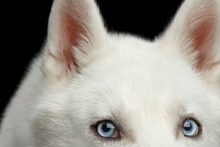 Close-up Head of peeking Siberian Husky Dog with blue eyes on Isolated Black Background. Front view