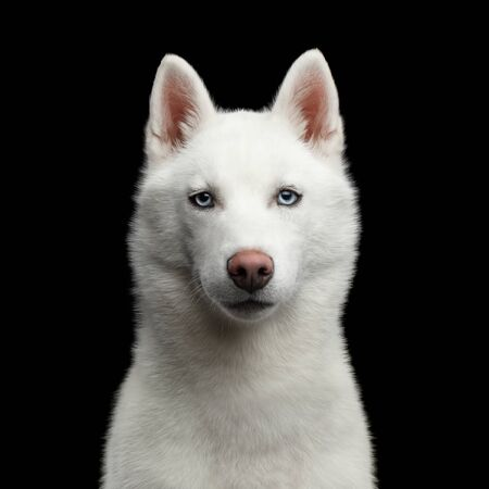 Portrait of White Siberian Husky Dog with blue eyes on Isolated Black Background. Front view