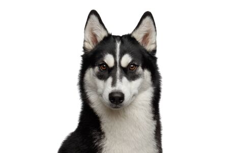Portrait of Siberian Husky Dog with funny eyebrows Gazing on White Background