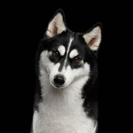 Portrait of Siberian Husky Dog with funny eyebrows Curious Gazing on Black Background
