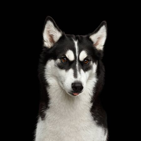 Funny Portrait of Siberian Husky Dog with angry eyebrows Gazing and showing tongue out isolated on Black Background