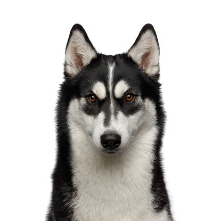 Portrait of Siberian Husky Dog with funny eyebrows Gazing on White Background, Front view