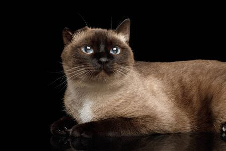 Close-up Siamese Cat with damaged ear after otitis Gazing on Isolated Black Background