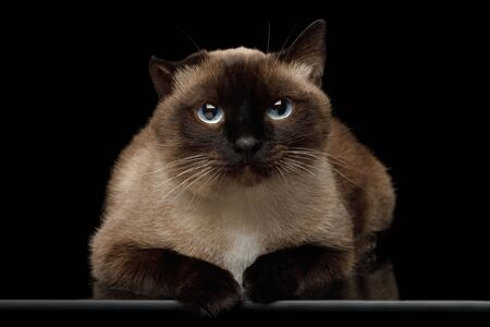 Portrait of Siamese Cat with damaged ear after otitis Gazing on Isolated Black Background Banco de Imagens