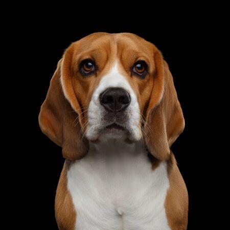 Closeup Portrait of Beagle Dog Gazing Isolated on Black Background in studio