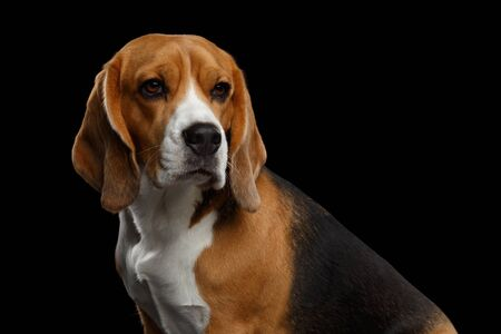 Portrait of Purebred Beagle Dog Looks Adorable Isolated on Black Background, profile view Banco de Imagens