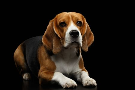 Purebred Beagle Dog Lying and Looking in Camera Isolated on Black Background, front view