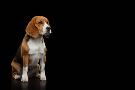 Purebred Beagle Dog Sitting and Looking at side Isolated on Black Background, profile view