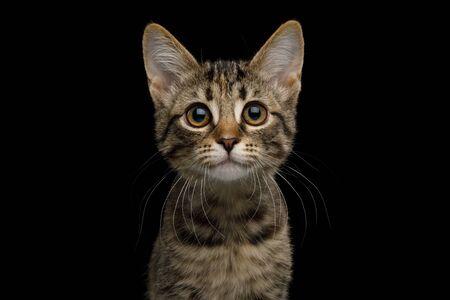 Porträt eines braunen Kätzchens mit Schildkrötenfell auf isoliertem Hintergrund, Vorderansicht