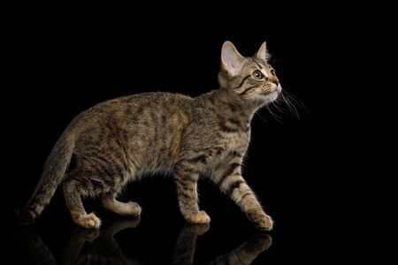 Brown Kitten with tortoise fur walk on isolated background, side view, full length Banco de Imagens