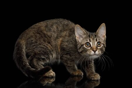 Brown Kitten with tortoise fur Crouching on isolated background, side view