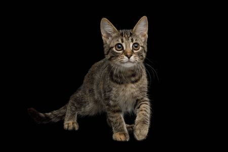 Playful Brown Kitten with tortoise fur with Curious face on isolated background Banco de Imagens