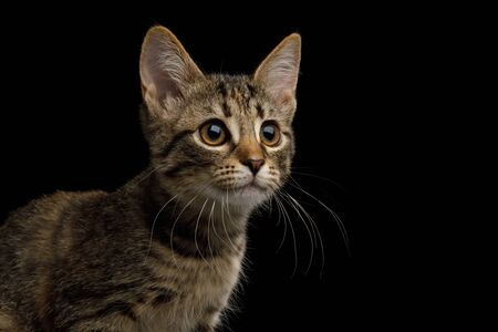Portrait of brown Kitten with tortoise fur on isolated background, profile view Banco de Imagens