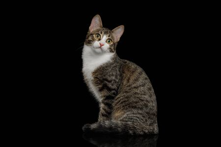 Curious Mix-breed Kitten Sitting with Funny face and Looking  at camera  isolated on black background Banco de Imagens