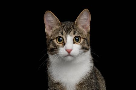 Portrait of Cute Mix-breed Kitten with white breast Gazing  isolated on black background