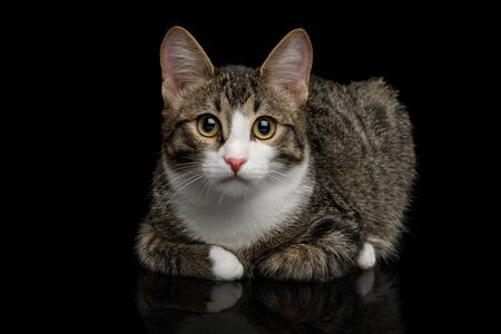 Cute Mix-breed Kitten Lying and Gazing  isolated on black background