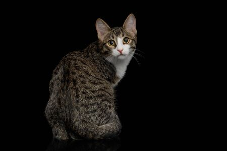 Curious Mix-breed Kitten Sitting and turned at camera  isolated on black background