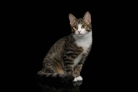 Curious Mix-breed Kitten Sitting  on black background Banco de Imagens