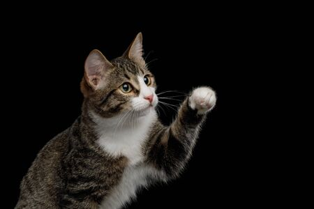 Playful Mix-breed Kitten with Curious face raised paw  isolated on black background Banco de Imagens