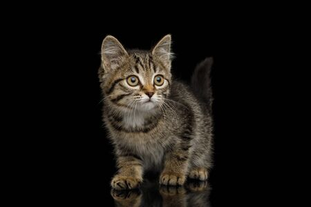 Brown Kitten with tortoise fur Crouching  isolated on black background