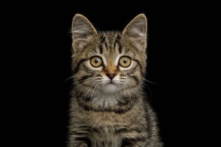 Portrait of brown Kitten with tortoise fur  isolated on black background, front view