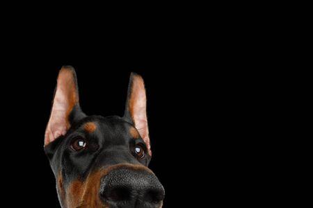 Funny Portrait of Peeking Doberman Dog on isolated Black background