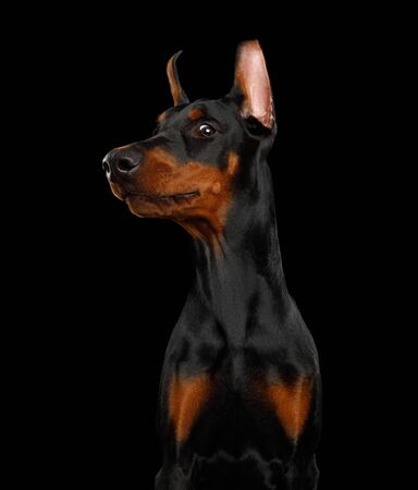 Funny Portrait of Sneaky Doberman Dog on isolated Black background