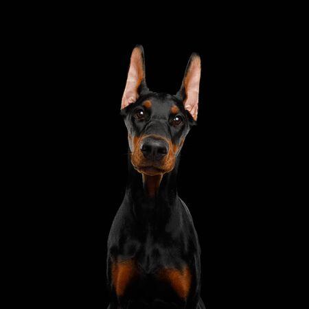 Cute Portrait of Doberman Dog Gazing on isolated Black background