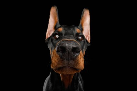 Closeup Portrait of Doberman Dog peeking in camera on isolated Black background 스톡 콘텐츠