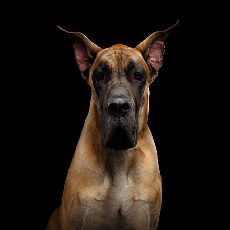 Close-up Portrait of Great Dane Dog, tan fur Gazing on Isolated Black Background, studio shot Banco de Imagens