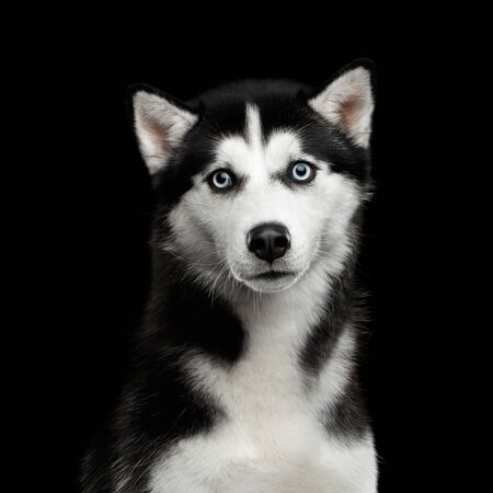 Portrait of Siberian Husky Dog with Blue eyes Surprised Looking in camera on Isolated Black Background Stock Photo