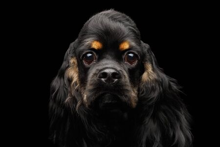 Close-up portrait of english cocker spaniel dog with furry ears looking in camera on isolated black background, front view